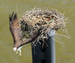 Mother Osprey protects her young
