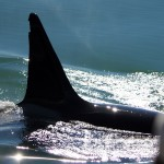 Fluke of Humpback Whale
