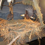 Model of Bald Eagle nest