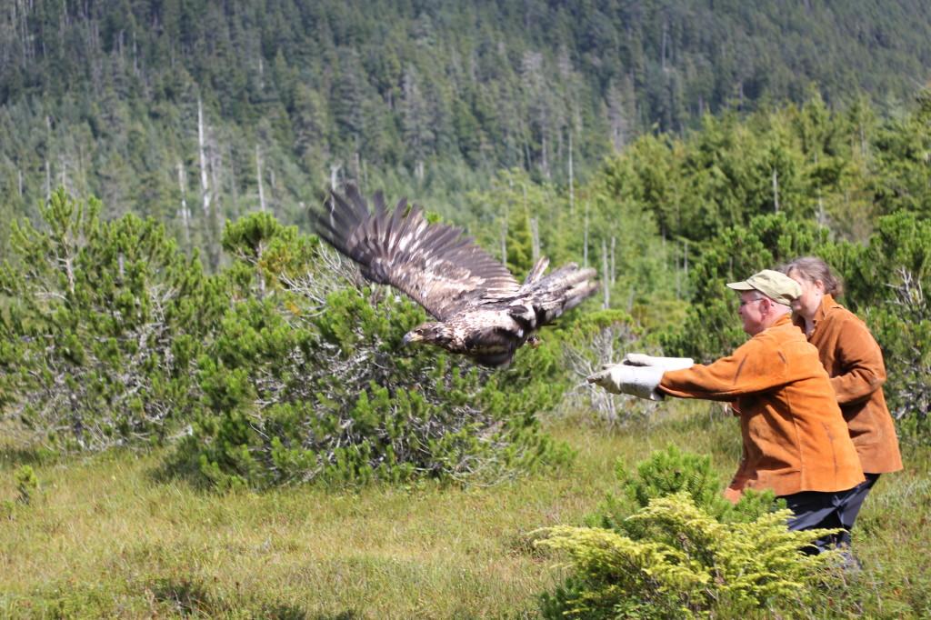 Eagle release at Alaska Raptor Center, Sitka