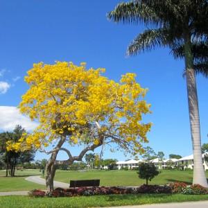Tabebuia tree at Quail Ridge 33436