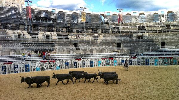 Camargue bulls in Arles Arena